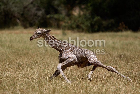 Newborn giraffe calf standing up for the first time, Masai Mara, Kenya