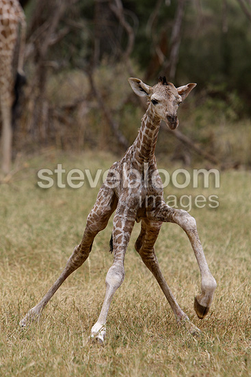 Newborn giraffe calf standing in the savanna, Masai Mara, Kenya