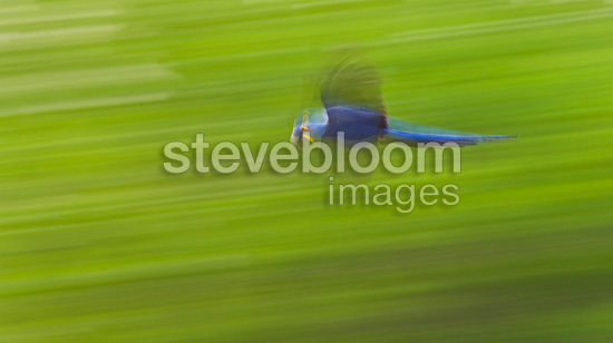 Hyacinth Macaw flying in Pantanal Brazil (Hyacinth Macaw)