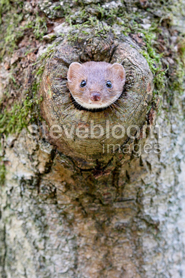 Least weasel looking through a hole in a tree Great-Britain (Least weasel)