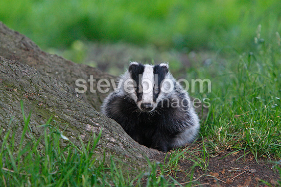 Young European Badger coming out of the burrow GB (Eurasian badgers )