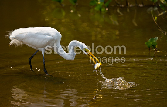 Great Egret fishing in Pantanal National Park Brazil (Great Egret)