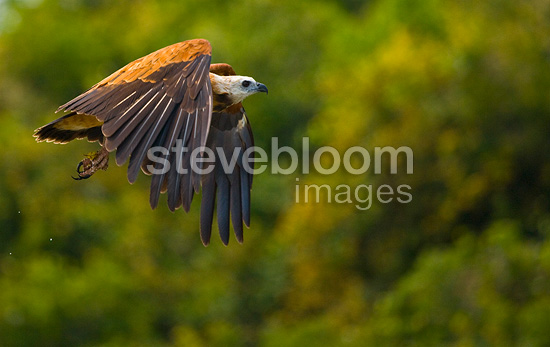 Black-collared Hawk flying in Pantanal National Park Brazil (Black-collared Hawk)