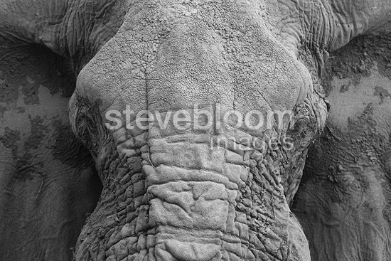 Portrait of mud-covered Elephant Moremi Okavango Delta (African elephant)