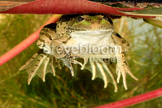 Green frog hiding under a sheet of water lily (frog)