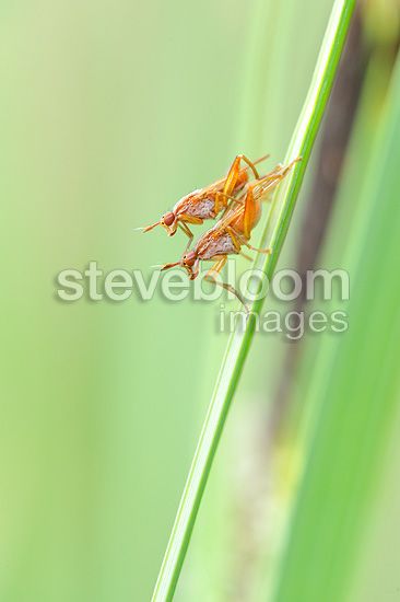 Mating of Praying Mantis on a blade of grass (mantis)
