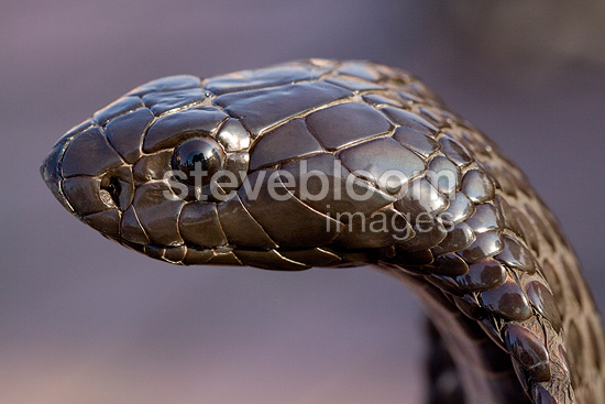 Head of an Egyptian Cobra in Morocco
