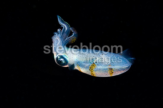 Young Cuttlefish hunting at night Sulawesi Indonesia (cuttlefish)