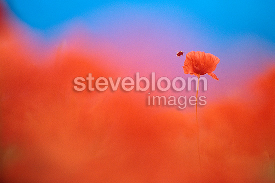 Bumblebee flying around a poppy in a field