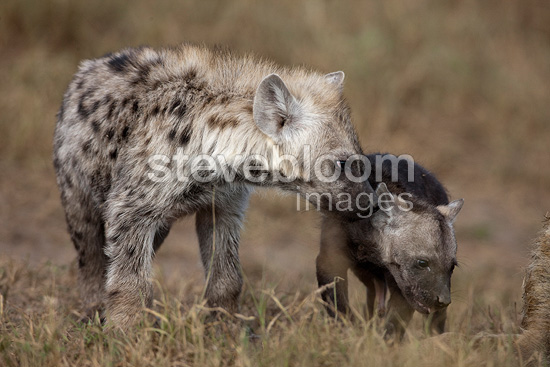 Spotted hyena and young in grass Masai Mara Kenya  (Spotted Hyena)