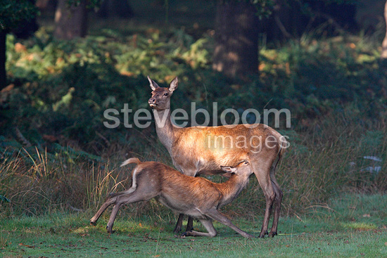 Fawn Red deer suckling its mother Great Britain (Red deer)