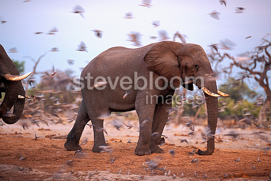 African Elephants and Doves at the water point Botswana (African elephant)