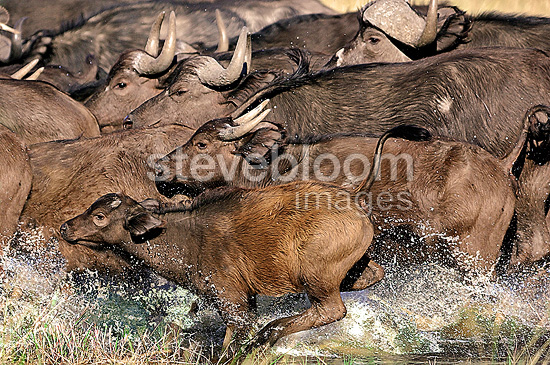 Savanna buffaloes running in water Botswana� (Cape buffalo)