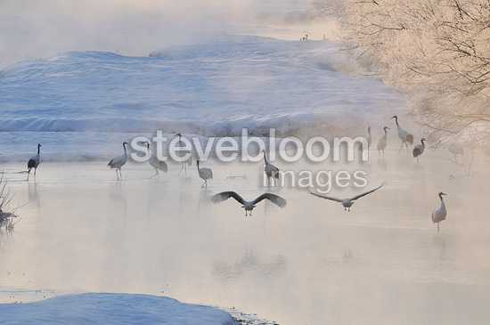 Red-crowned Crane on snow (Red-crowned Crane)