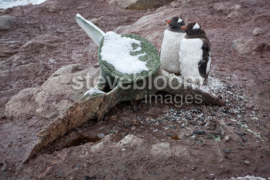 Gentoo Penguins and whale bone in the Antarctic Peninsula (Gentoo penguin)