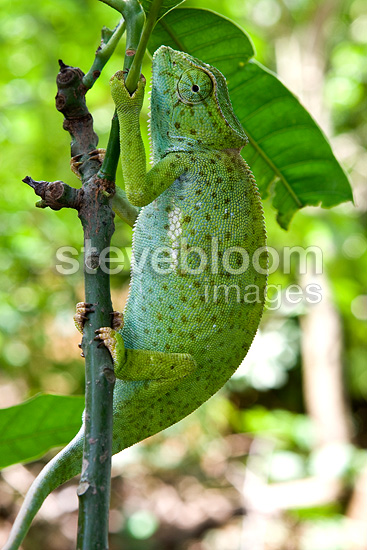 Graceful Chameleon on a branch Cameroon