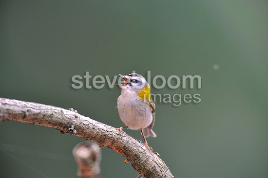Common Firecrest singing on branch spring Belgium (Common Firecrest)