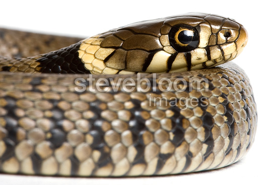 Portrait of young Grass Snake on white background