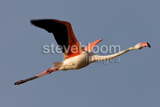 Aninimal Book: Rosy Greater Flamingo flying Camargue France (Rosy Greater ...