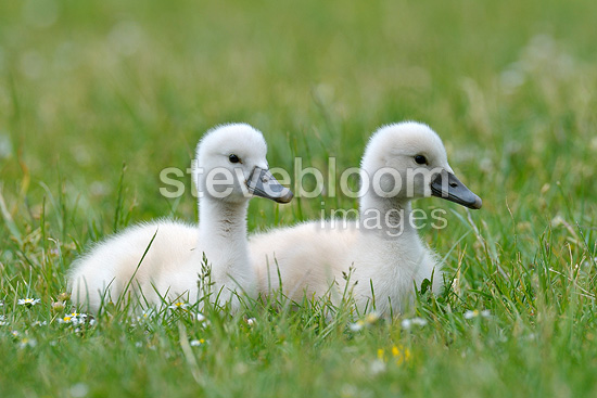 Chicks of mute swan on meadow in spring Hesse Germany (Mute Swan)