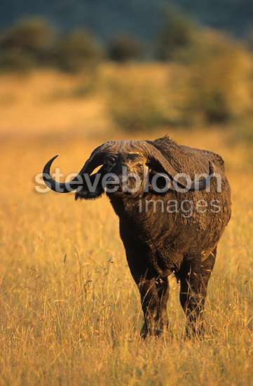 Cape Buffalo in savanna Masai Mara Kenya (Cape buffalo)