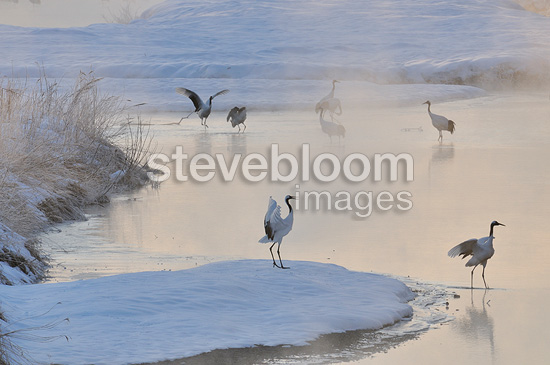 Red-crowned Cranes near a bank in the fog Japan (Red-crowned Crane)