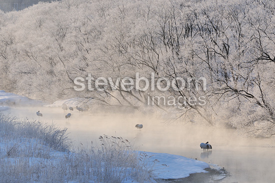 Red-crowned Cranes near a bank with trees in the fog Japan (Red-crowned Crane)