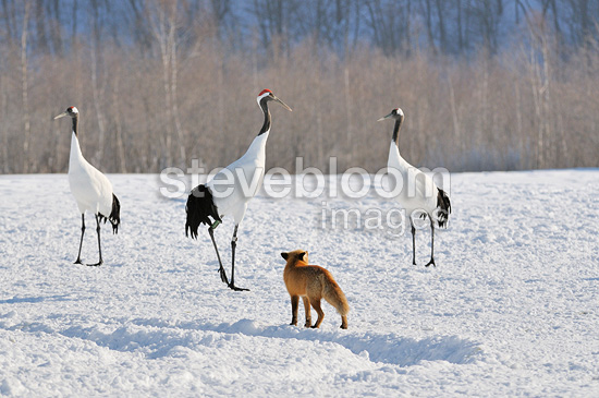 Red Fox and Japanese Cranes in the snow Japan (Red-crowned Crane; Fox)