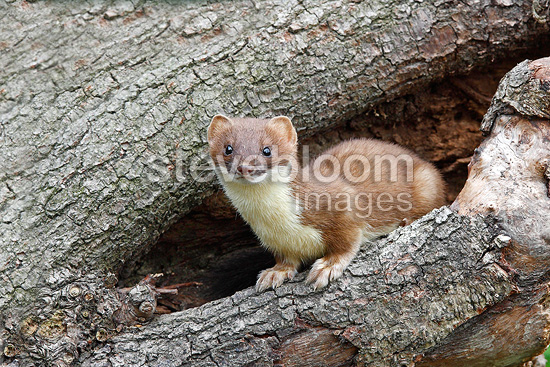 Ermine lying in a hole of a dead tree Great Britain (Ermine)