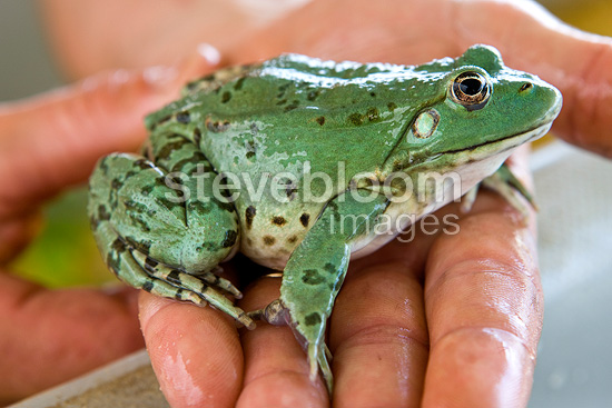 Breeding Frog INRA patented nourishing of inert France