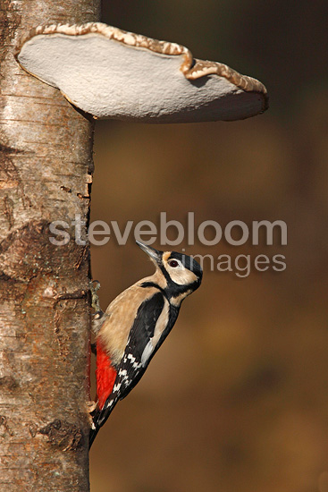Great spotted woodpecker on birch covered with mushrooms GB (Great spotted woodpecker)