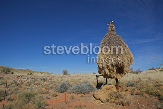 Sociable Weaver nests on an electric post Kalahari (Social-weaver)