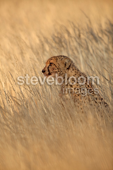 Cheetah Sitting In The Tall Grass Kgalagadi Np South Africa