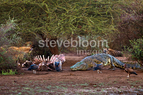 Nile Crocodile approaching the remains of Hippopotamus (Nile Crocodile; Hippopotamus)