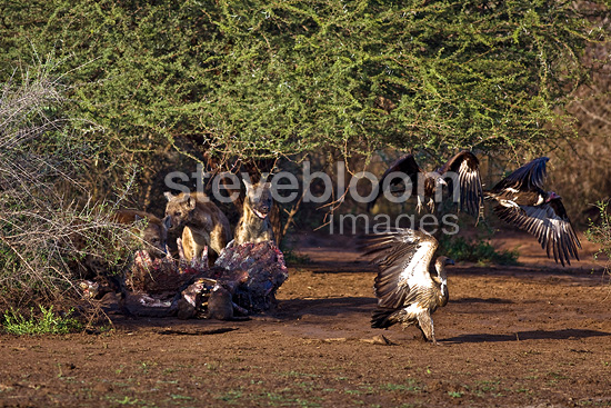 Spotted Hyenas and vultures around the carcass of a hippopotamus, Kruger National Park, South Africa