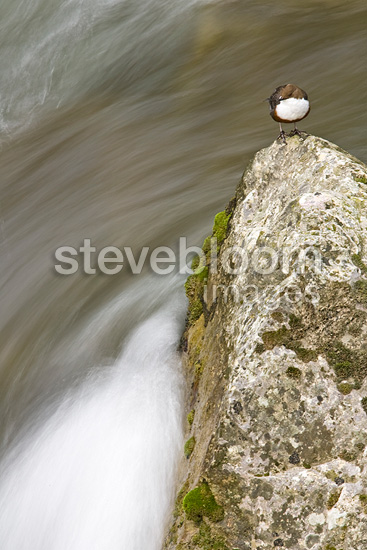 White-throater Dipper on a rock Gorges du Verdon France (White-throated Dipper)