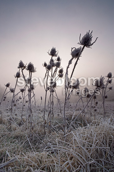 Teasels frost Provence France