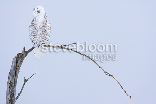 Snowy owl on a tree in winter Quebec Canada (Snowy Owl)