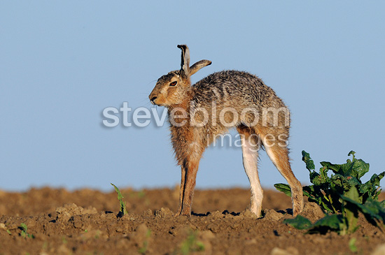 European Hare stretching in a field Vosges France  (European Hare )