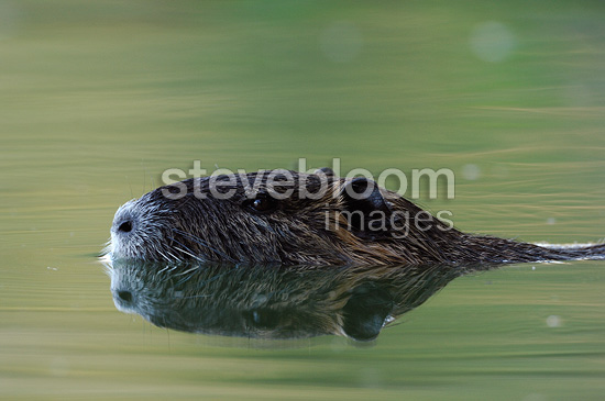 Nutria swimming in the Allier river France (Coypu)