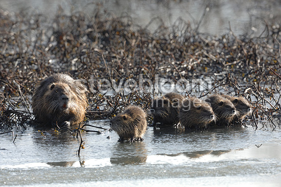 Nutria and young on the banks of the Allier in winter France (Coypu)