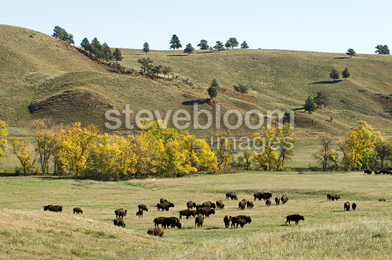 Bison Roundup Custer State Park South Dakota USA (American Bison)