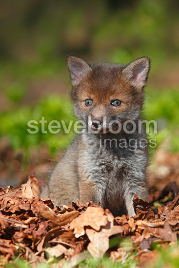 Young Red fox sitting in a clearing spring Great Britain (Red fox)