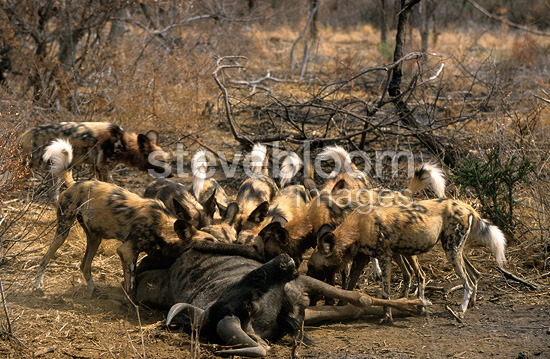 Wild Dogs eating a Wildebeest Madikwe Game Reserve (African wild dog)