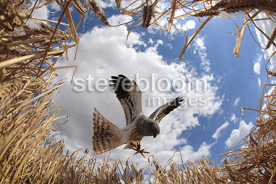Montagu's Harrier male approaching nest, Saron-sur-Aube, France. Farmer has protected nest by avoiding mowing Barley on  4mx4m of land, which also protects them from predators. In two years of follow-up, fledging 100% successful.