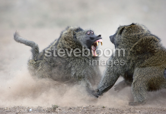 Anubis baboons fighting for gazelle Masai Mara NR Kenya (Anubis baboon)