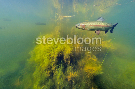 Rainbow trout swimming in a pond Belgium (Rainbow trout)