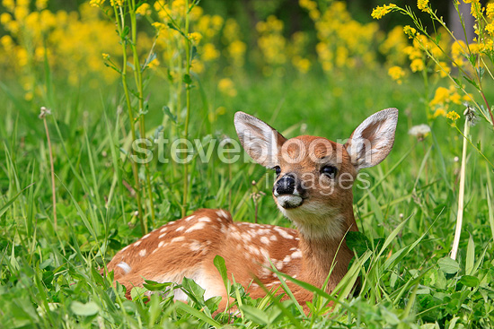 Young White-tailed deer lying in the grass Minnesota USA  (White-tailed deer)