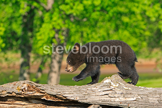 Young Black Bear 4 months walking on a trunk USA (Black bear )