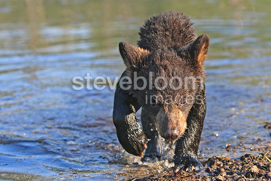 Young Black Bear 4 months out of the water Minnesota USA (Black bear )